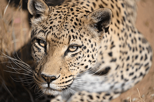 Close-up portraits of leopard, photographed using the Nikon Z 70-200mm f2.8 VR S lens