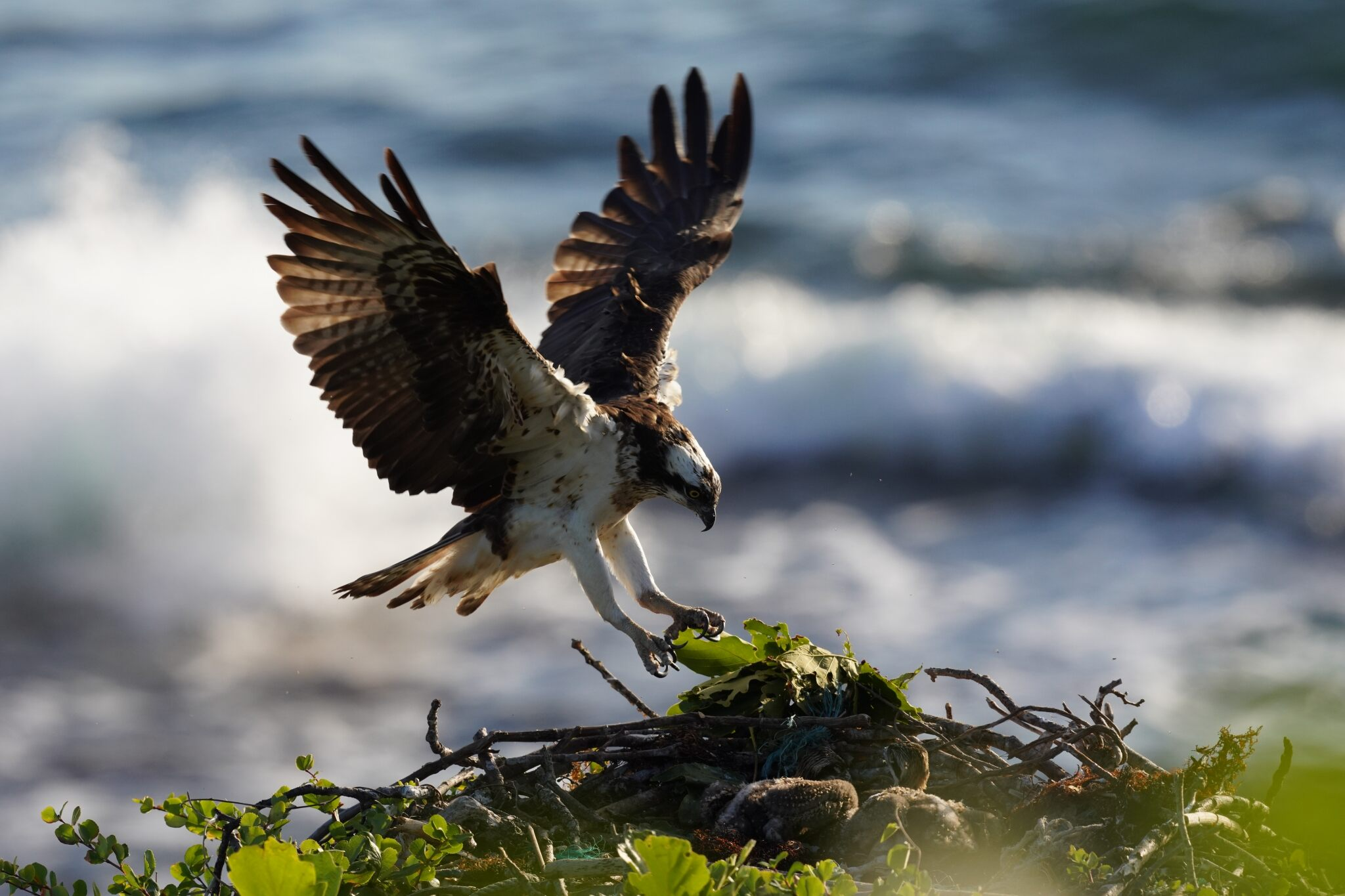 Eagle with outstretched wings landing on a nest by the sea, photographed with the Sony a7R IV mirrorless camera