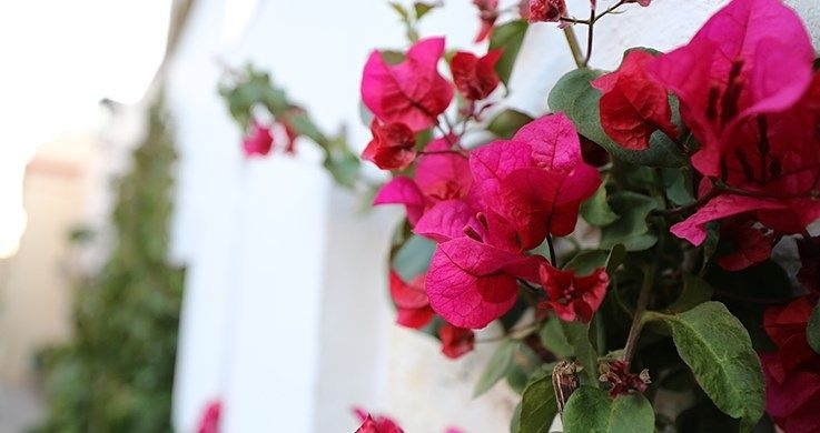 Close-up of bougainvillea shrub with white-walled building in background, photographed with the Canon 16-35mm f4 lens
