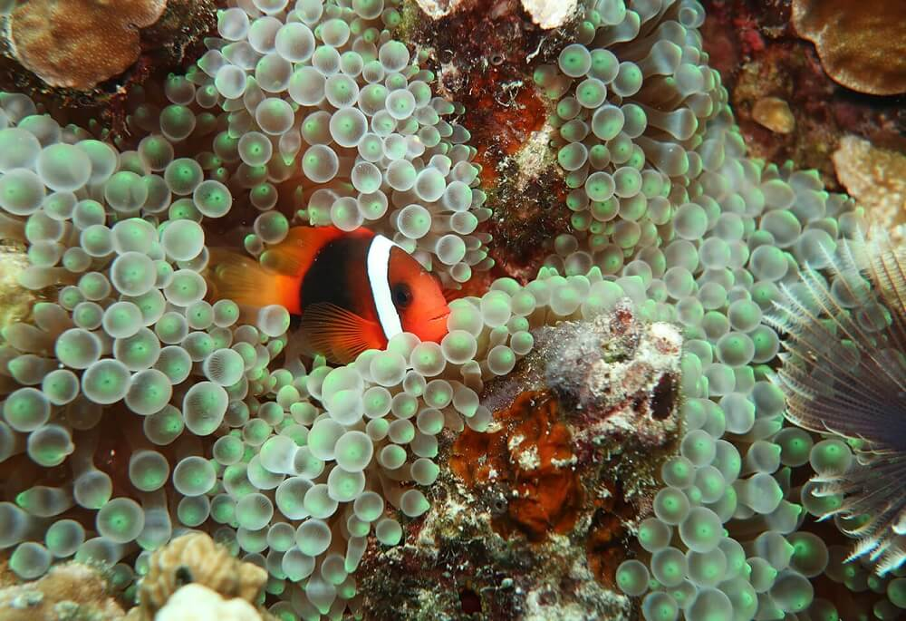 Clownfish nesting amid anemone, photographed with the Canon G1X Mark III housed in the WP-DC56 waterproof case