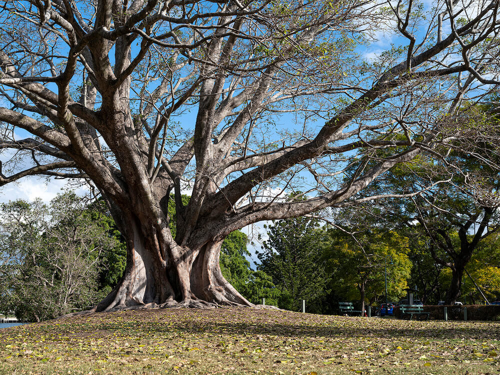 A huge tree in a park, taken with the Fujifilm GFX50S Mk II camera
