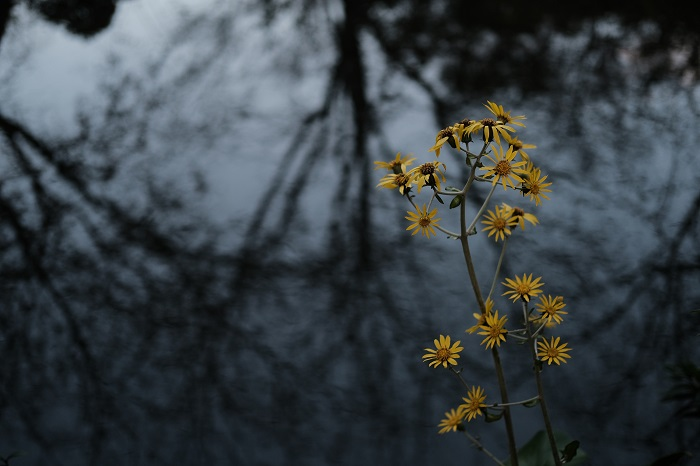 Small yellow flowers against a grey background of upside-down tree silhouettes, photographed with the Fujifilm XT30