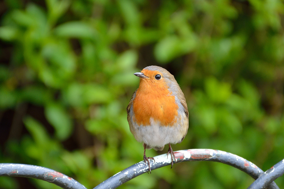 Small bird perched on a worn metal fence with greenery in the background, photographed with the Nikon 18-140mm lens