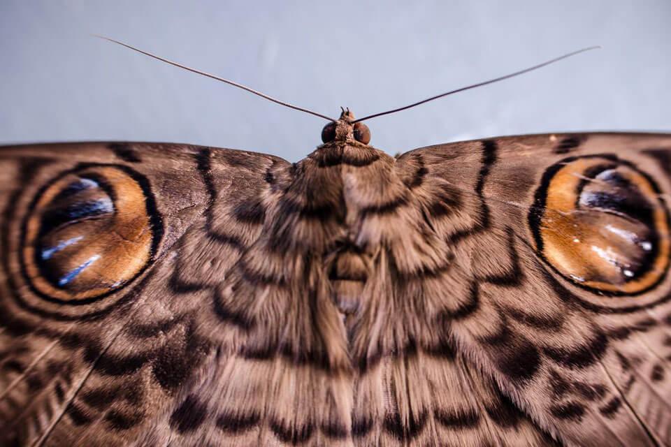 Close-up detail of brown moth, photographed with the Nikon AF-S DX NIKKOR 35mm f/1.8G lens