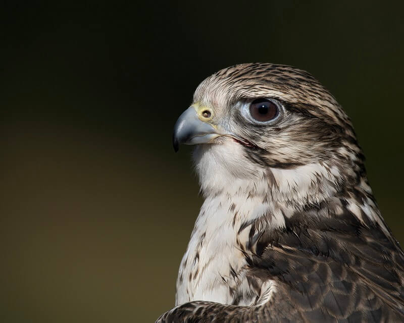 Close-up of falcon, photographed with the Olympus 150-400mm f4.5 TC1.25x IS PRO Lens