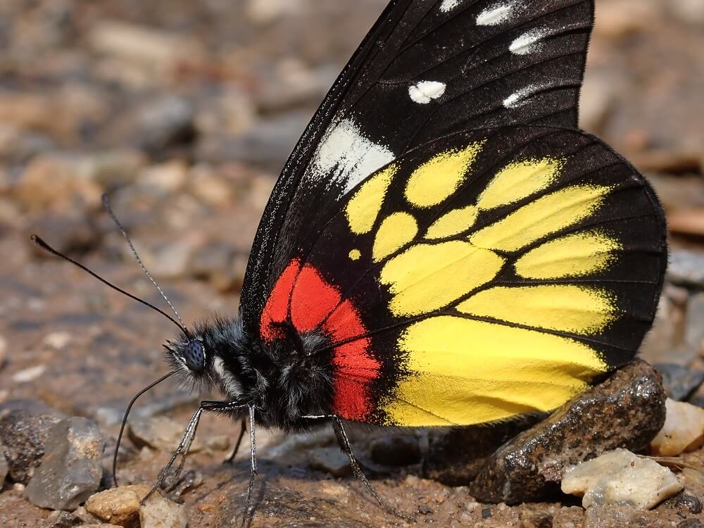 Side-on close-up of black, orange, yellow and white butterfly on rocks, photographed with the Olympus TG-6