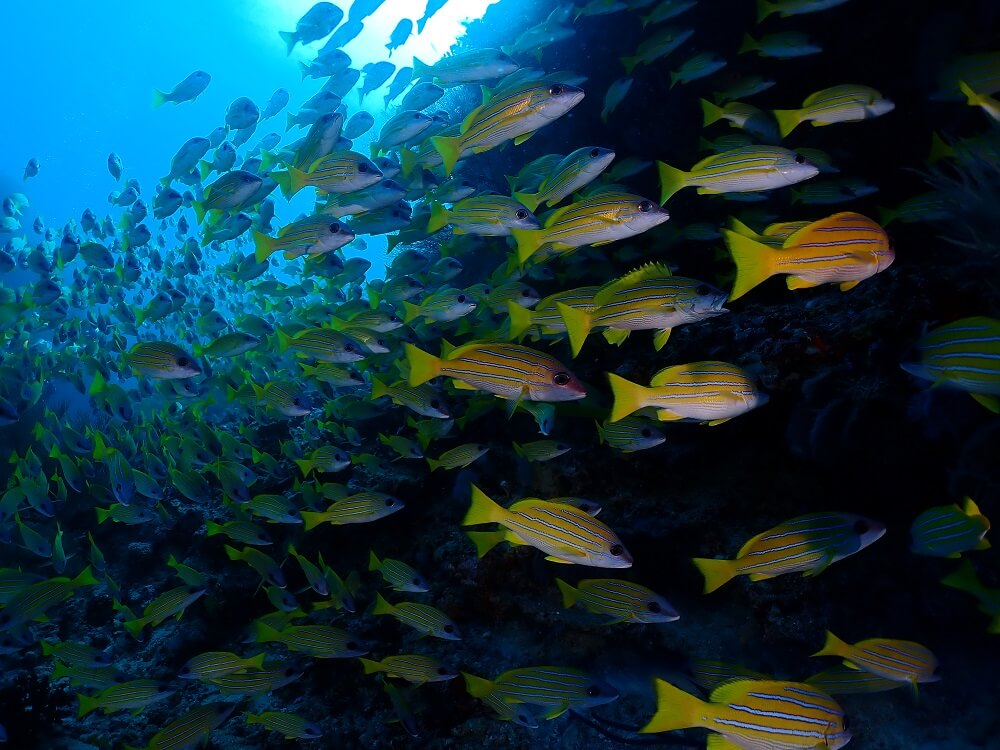 Large school of yellow tropical fish underwater, photographed with the Olympus TG-6