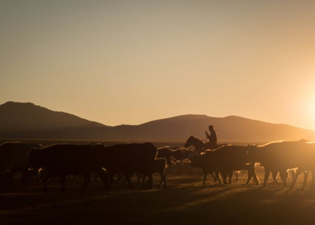 Herd of cattle and man on horseback silhouetted by a low sun, shot with the Panasonic LUMIX VARIO 35-100mm f2.8 II Lens
