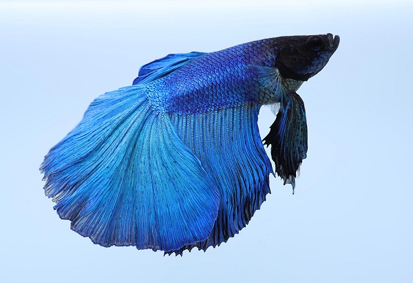 Side-on blue Siamese fighting fish against a plain, light-coloured background, photographed with the Canon RF 35mm f1.8 lens