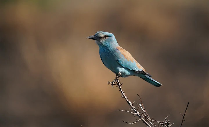 Small blue bird with light brown markings perched on a twig, photographed with the Sony 200-600mm f5.6-6.3 G OSS lens