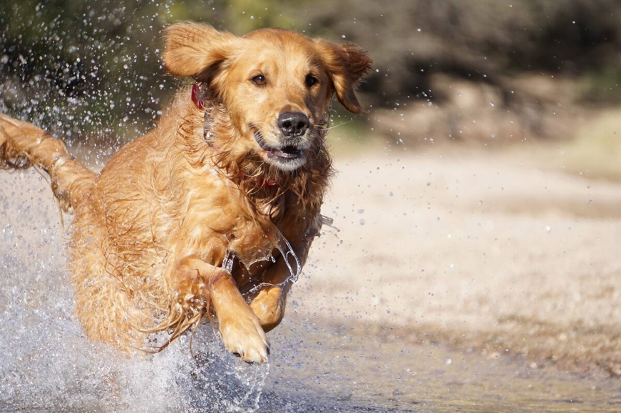 Golden retriever dog running through water by a beach, photographed with the Sony 55-210mm f/4.5-6.3 OSS lens