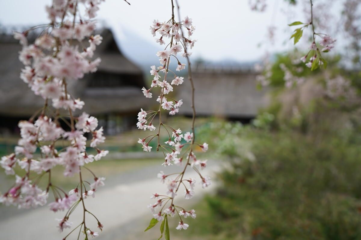 Cherry blossoms in front of traditional buildings out-of-focus in the background, shot with the Sony 16-35mm f2.8 GM Lens