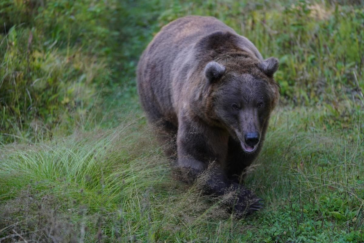 Adult brown bear walking through grass, photographed with the Sony 70-200mm f2.8 GM OSS lens
