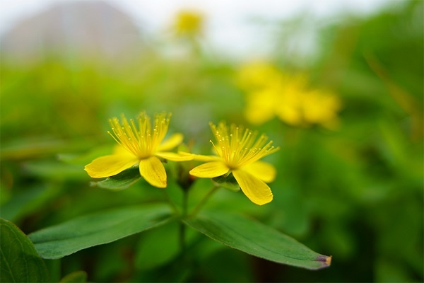 Small yellow flowers blooming amidst out-of-focus greenery, photographed with the Tamron 20mm f2.8 macro lens for Sony