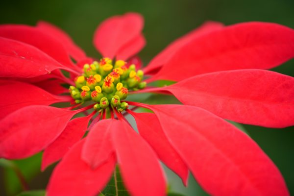 Close-up of plant with yellow-green flowers and red leaves, shot with the Tamron 70-180mm f/2.8 Di III VXD lens