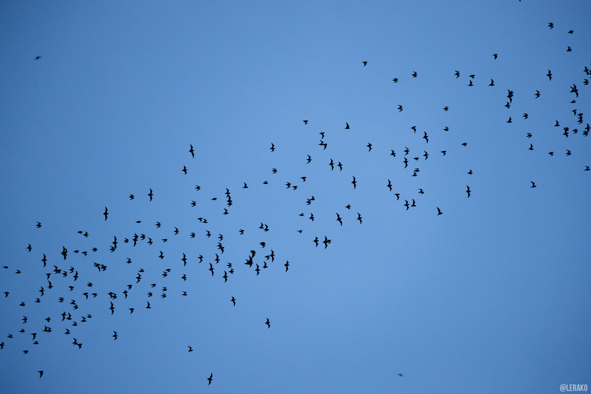 a flock of birds flying in the blue sky