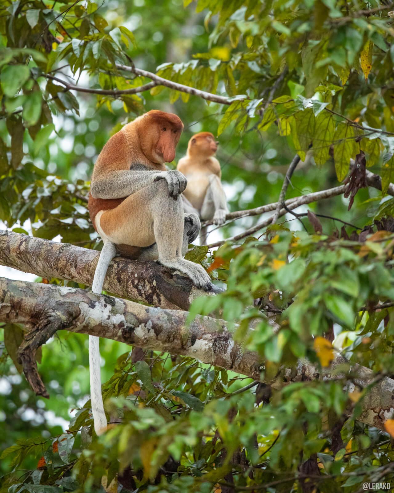 a couple of proboscis monkeys sitting on a tree