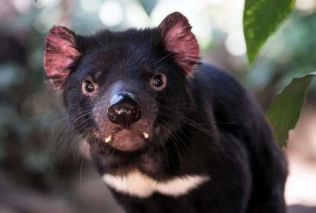 wildlife shot of a tasmanian devil