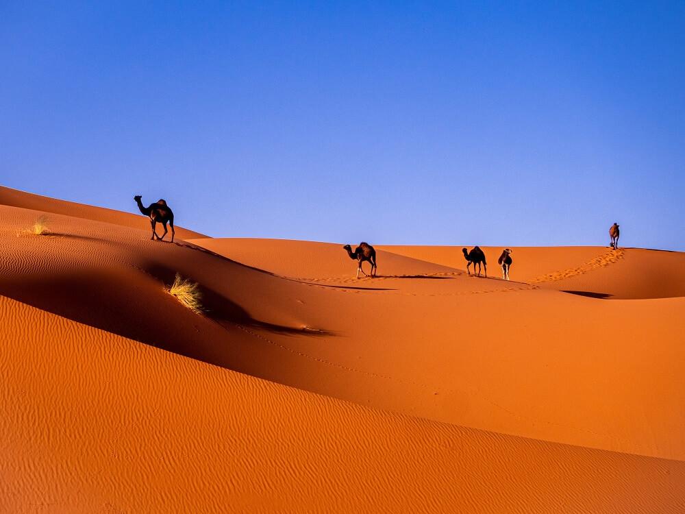 Five camels walking across the desert