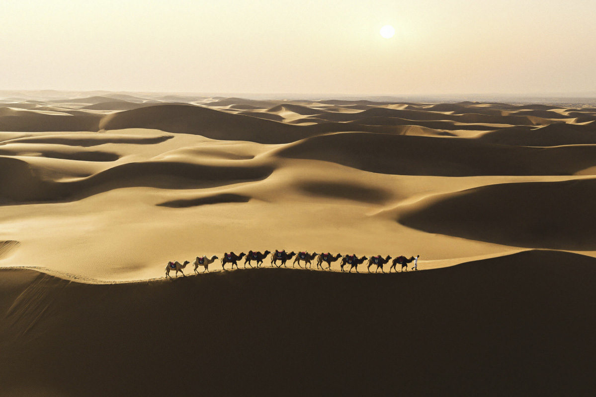 Line of camels being led along the top of a desert sand dune, shot on the DJI Mavic Air 2 drone
