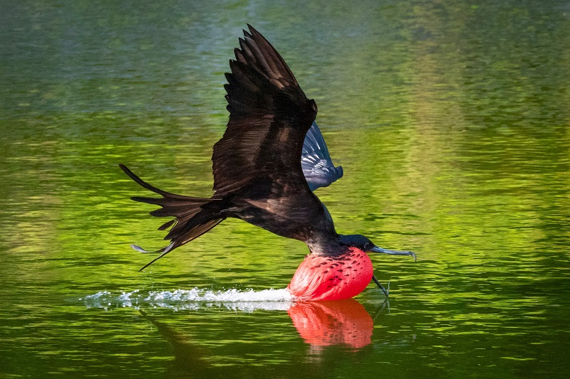 christmas island frigate bird flying above a body of water