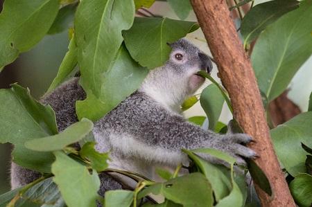 koala eating on a tree