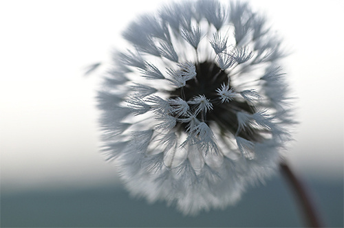 Close-up of white dandelion head shot on the Nikon D780