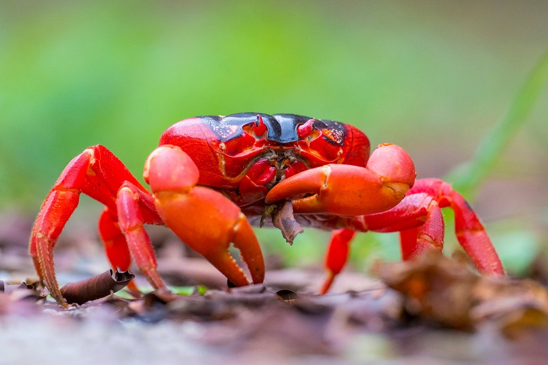 red crab found in christmas island