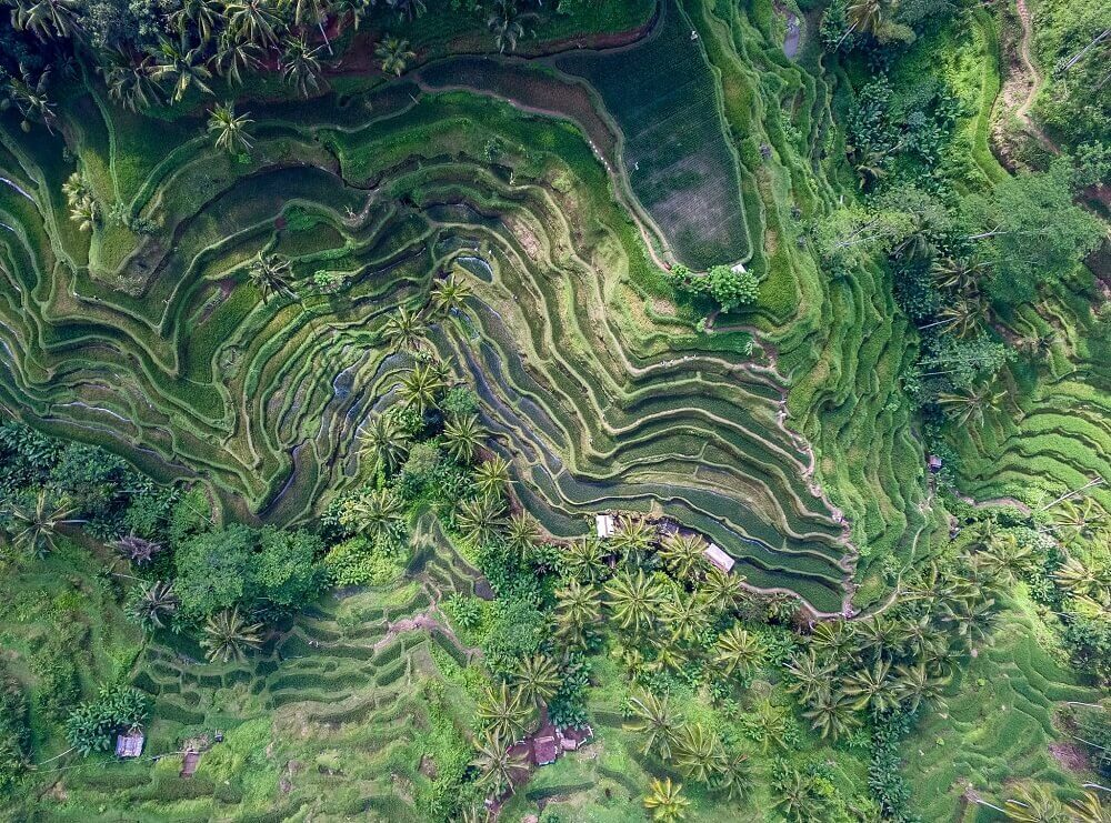 Aerial shoot of a green rice paddy field