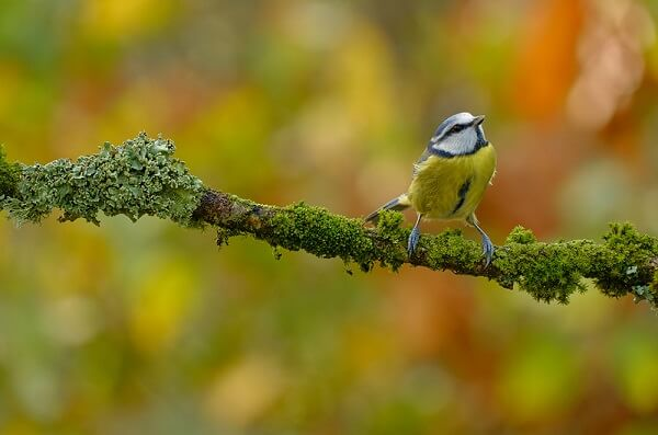 Eurasian blue tit bird perched on a moss-covered branch, photographed with the Fujifilm XF 70-300mm f4-5.6 R LM OIS WR lens