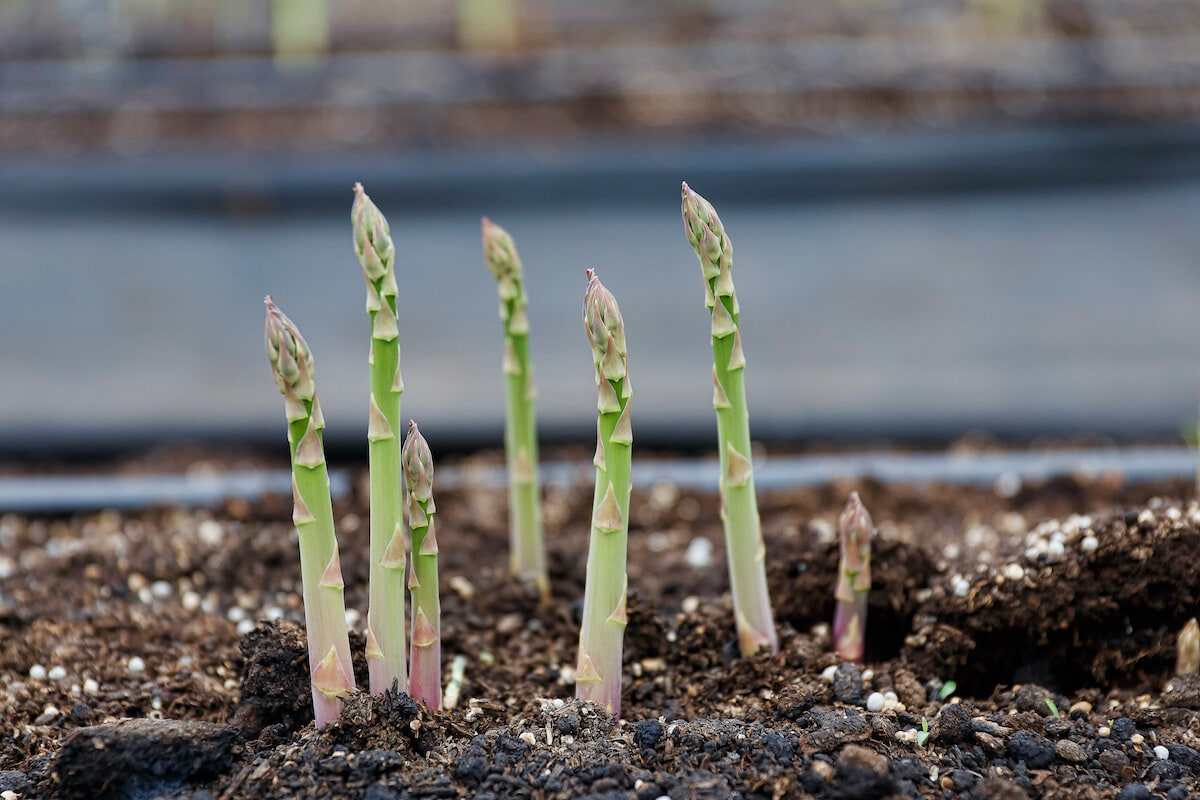 How to grow asparagus & stop greens going to seed