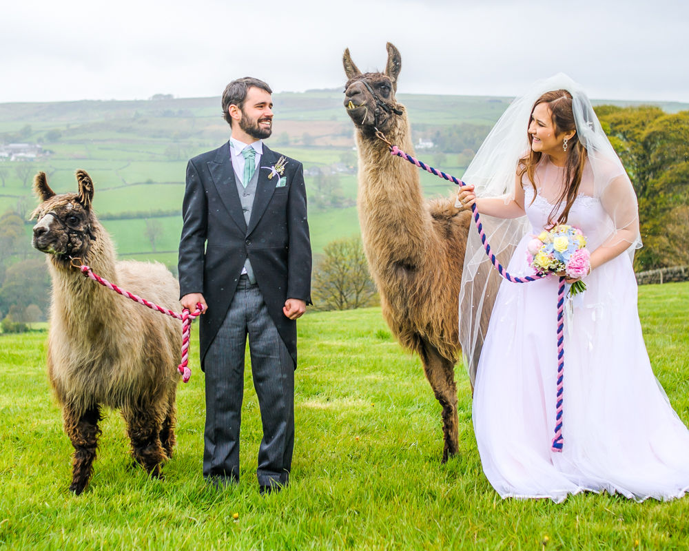 Bride and groom with llamas at wedding