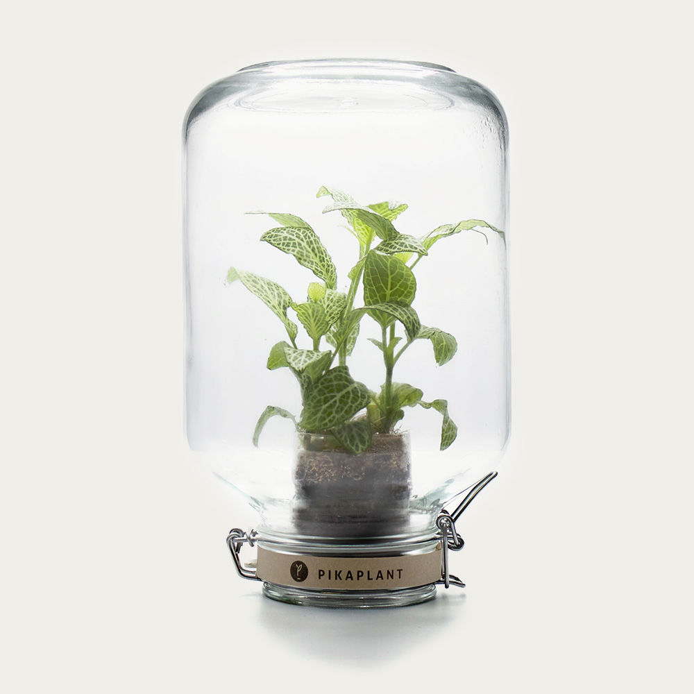 Jar Fittonia | Bombinate