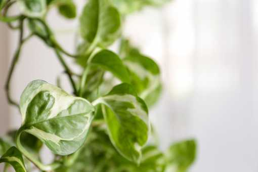 Pothos and Philodendron plant