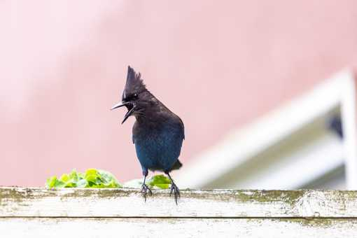 Steller's jay Bird open mouth