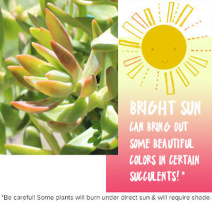 Bright sunlight for succulents
