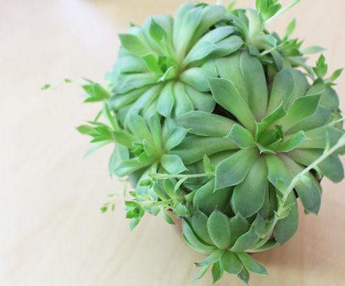 Sempervivum succulent