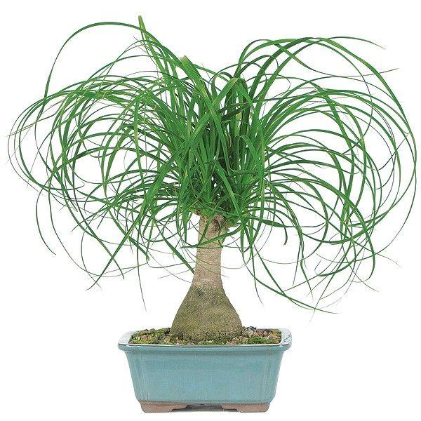 Ponytail Palm, BonsaiOutlet.com