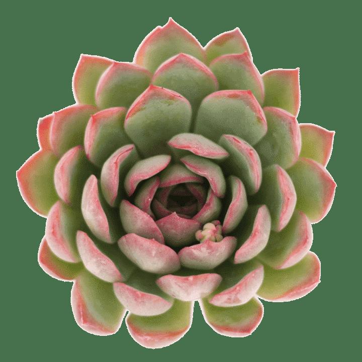 Leaf and Clay Echeveria Apus
