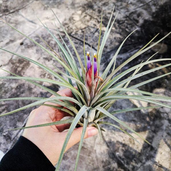 Tillandsia hybrid bloom