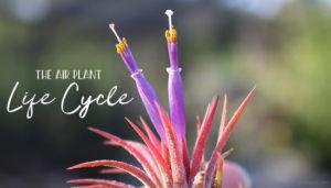 Air Plant Life Cycle