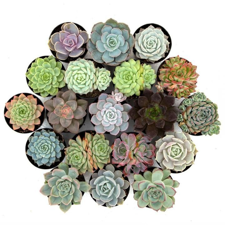 Leaf and Clay Awesome Echeveria Pack
