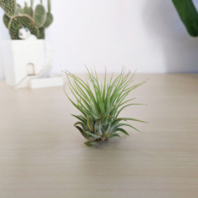 Tillandsia Ionantha Air Plant, Airplant, Tillandsia Garden, Air Plant Garden, Air Plant Care, Tillandsia Care, Small Airplant