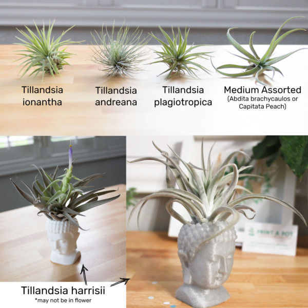 Buddha Air Plant Holder focused on Mindfulness, Zen Garden Statue, Small Buddha Statue as Air Plant Container