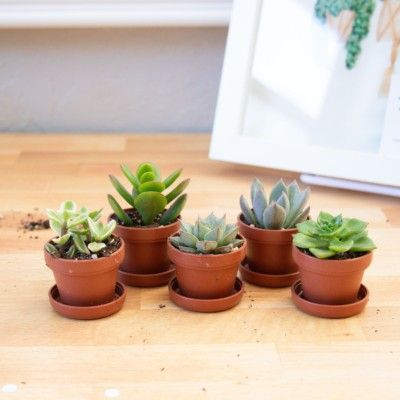 "1"" Mini Succulent Plant Assortment, Fairy Garden Succulents, Succulents for Fairy Garden Terrariums"