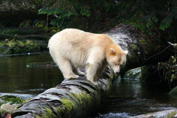 The Great Bear Rainforest: A Watermark from Joe Daniels
