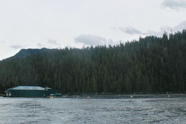 Saving the Pacific Salmon