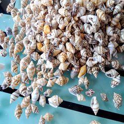 Natural conch shell Natural Very Mini Sea Shell small sea 500pcs for DIY Supplies Natural conch small shell decoration