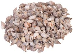 Sea Shells Shankh New 250 pcs (500 gS Pack) Used in Aquariums Art Crafts Decorations Table Decoration