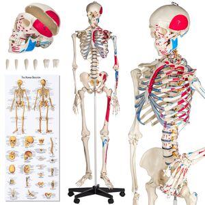 tectake Anatomieskelett mit Muskel Nummerierung - weiß